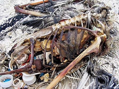 Albatross carcass. Starved by plastic pollution