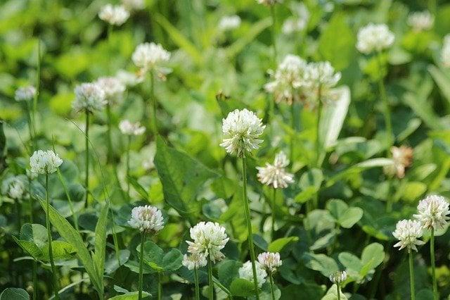 White clover. lawn alternatives