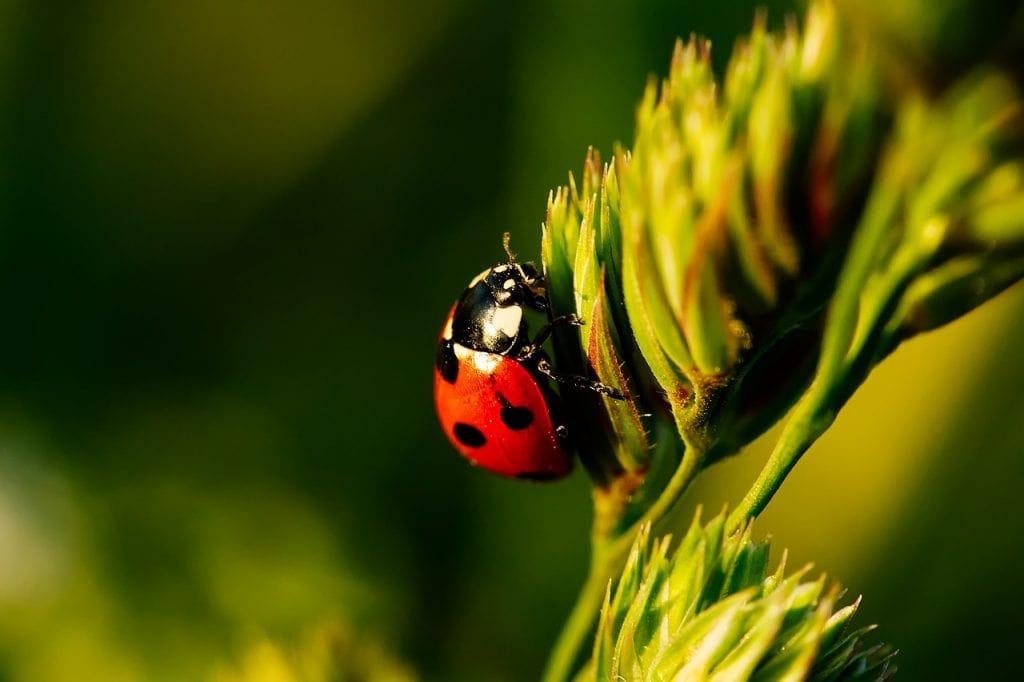 ladybug. biodiverse yard