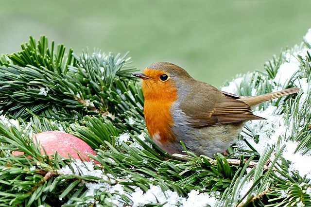 Robin, sustainable backyard