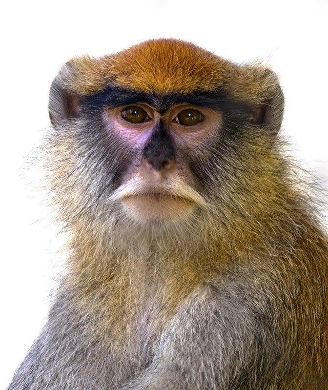 Patas monkey. the Lorax 50th anniversary