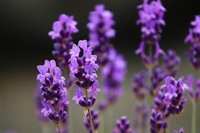 lavender. natural mosquito control
