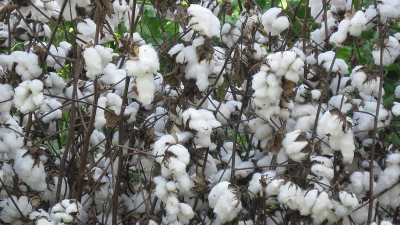 organic cotton growing
